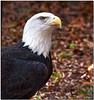 Oct 30<br /> Beautiful Bald eagle
