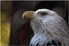 Oct 30<br /> Bald Eagle