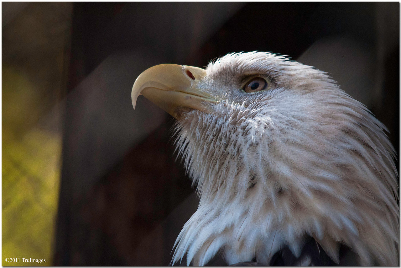 Oct 30<br /> Bald Eagle