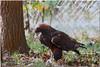 Oct 30<br /> Golden Eagle