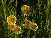 <em>Layia munzii,</em>,  Munz' Tidy-tips (?), native.  <em>Asteraceae</em> (= <em>Compositae</em>, Sunflower family). Carrizo Plain, San Luis Obispo County, CA 4/06/10