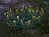 <em>Astragalus</em> sp., Milkvetch, Locoweed,  native.   <em>Fabaceae</em> (=<em>Leguminosae</em>, Legume family). Carrizo Plain, San Luis Obispo County, CA 3/31/10