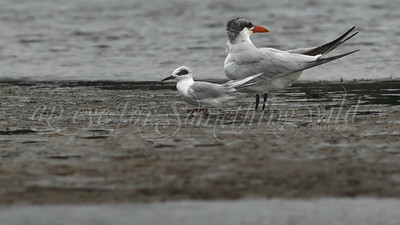 Caspian Tern and Forster's Tern