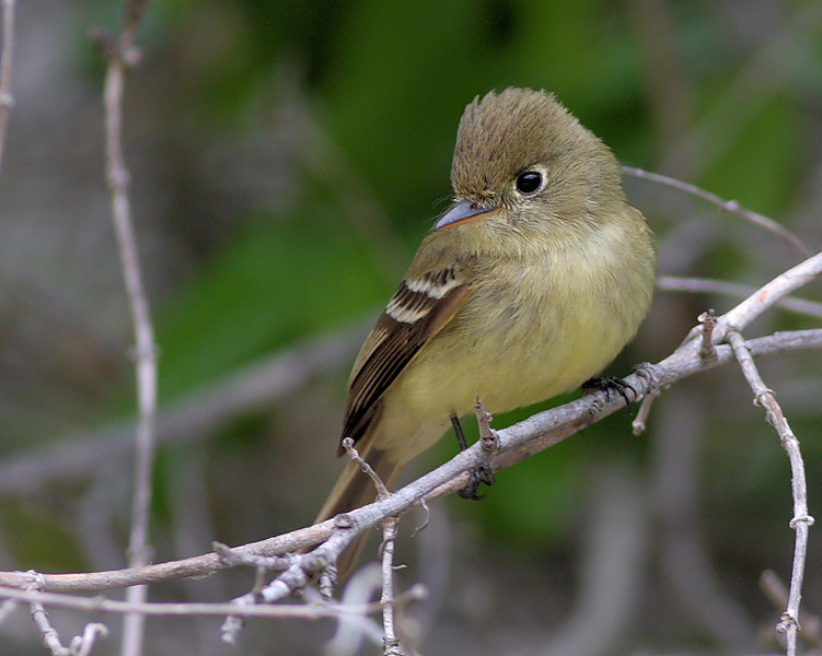 Pacific-Slope Flycatcher at Wrigley Botanical Gardens in Avalon Canyon.