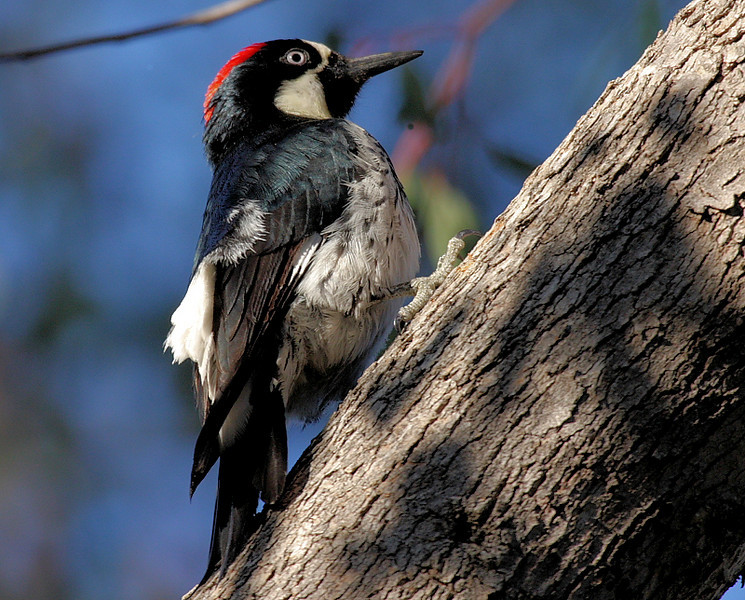 An Acorn Woodpecker, a ubiquitous and raucous resident of Avalon and environs.