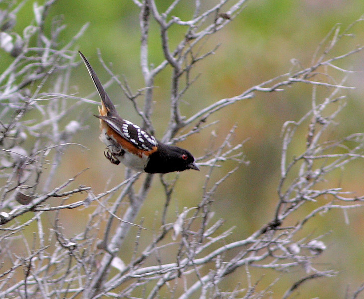 A Spotted Towhee takes a dive near the Wrigley Gardens.