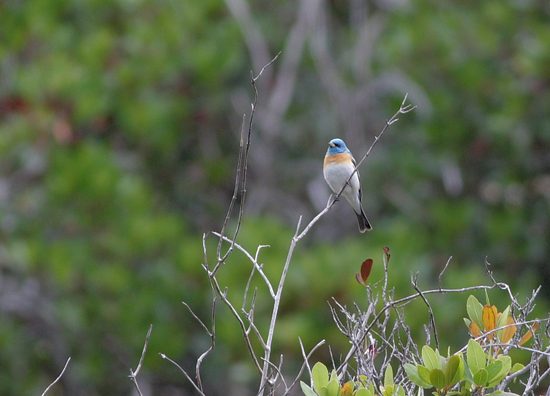 A Lazuli Bunting. My thanks to Bob Kaufman for IDing this; it was quite distant, and how often does one think of finding a Lazuli Bunting on Catalina Island?