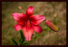 """Alphabet Challenge – """"R"""" is for """"Red"""" Montenegro Asiatic Lily"""