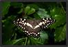 Lime Butterfly (Papilio demoleus)