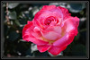 """Rose, Double Delight </font><font color=""""PaleGreen"""">Thank You for Making this Daily Photo Tied for the <font color=""""Yellow"""">#2 Pick<font color=""""PaleGreen""""> on 04/18/2013 </a> </font> </font><font color=""""White"""">  [I was working the Red Roses as they are the most problematic for me keeping good Petal Definition and Color Uniformity]  </font> <a href=""""http://www.rickwillis-photos.com/Portfolio/Best/Hidden-Photos-Without-Frames/26709550_DZD78d#!i=2463483957&k=DpFmvd3""""> <font color=""""Red"""">Link to Photo Without Frame</a> </font> <font color=""""Grey"""">"""