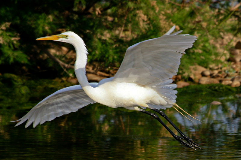 Egret, Great White<br /> <br /> Shot at Phoenix, AZ Tres Rios Wetlands