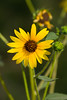 Summer Flower<br /> <br /> Just a flower near one of the trails I use when looking or Birds...