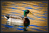 """Duck, Mallard-Male on Golden Pond  </font> <a href=""""http://www.rickwillis-photos.com/Portfolio/Best/Hidden-Photos-Without-Frames/26709550_DZD78d#!i=2324973510&k=WBfpvSc""""> <font color=""""Red""""> Link to Photo Without Frame </a> </font>"""