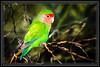 "Lovebird, Peachface Shot in Water Ranch-Gilbert, AZ  </font> <a href=""http://www.rickwillis-photos.com/Portfolio/Best/Hidden-Photos-Without-Frames/26709550_DZD78d#!i=2335172791&k=FpnwZWn""> <font color=""Red""> Link to Photo Without Frame </a> </font>"
