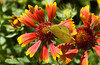 Indian Blanket<br /> <br /> Flower and a Butterfly Visitor...