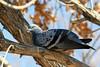 Rock Dove - Checkered - Adult (Feral Pigeon)<br /> <br /> Shot at Rio Salado in Phoenix, AZ