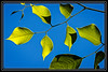 """Leaves and Sky  </font> <a href=""""http://www.rickwillis-photos.com/Portfolio/Best/Hidden-Photos-Without-Frames/26709550_DZD78d#!i=166094491&k=nPDNGWb""""> <font color=""""Red""""> Link to Photo Without Frame </a> </font>"""