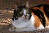 Calico Cat<br /> <br /> You have been spared the roses again. <br /> He/She Just enjoying the Sun and trying to ignore the photographer...