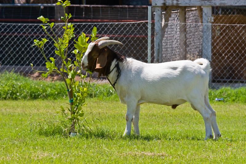 Goat<br /> <br /> Lawn Mower, Hedge Trimmer and Fertilizer Spreader...