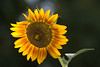 Sunflower<br /> <br /> Didn't know how the very strong backlight and flash fill would affect the shot...<br /> What do you think?