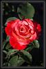 Rose, Amazing Color