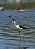 Stilt, Black-Necked<br /> <br /> Shot at Tres Rios Wetlands Phoenix, AZ...