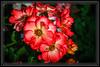 "Rose, Sadler's Wells From a park with a Wonderful Rose Garden that I visit frequently.  </font> <a href=""http://www.rickwillis-photos.com/Portfolio/Best/Hidden-Photos-Without-Frames/26709550_DZD78d#!i=2354387110&k=gwNz6cB""> <font color=""Red""> Link to Photo Without Frame </a> </font>"