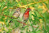 Finch, House-Female & Male<br /> <br /> Shot at Phoenix-AZ Rio Salado