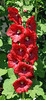 Hollyhock<br /> <br /> A Chain of Color...