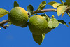 Oranges<br /> <br /> Maybe when they ripen.  For now they appear to be Greens...