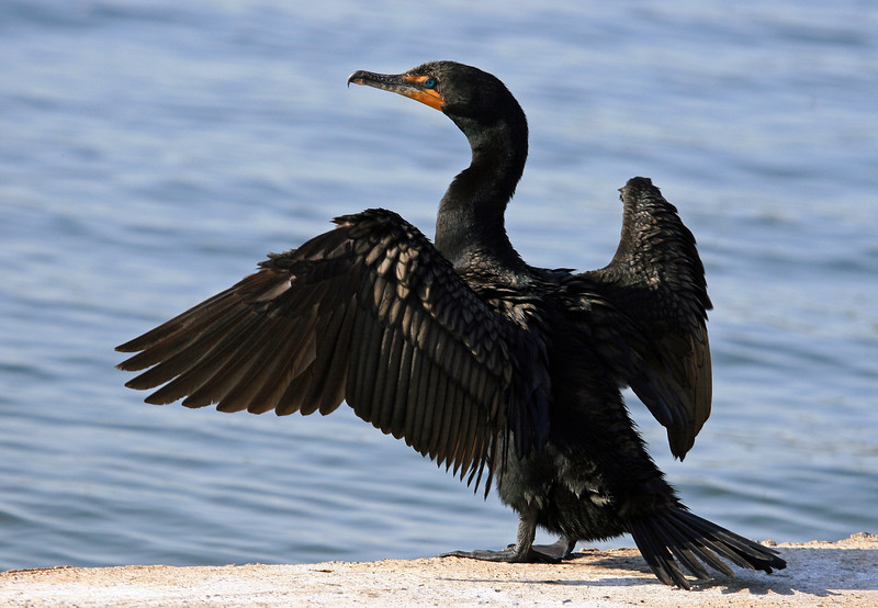 Cormorant, Neotropic<br /> <br /> Shot at Phoenix, AZ Alvord Lake<br /> They are not very buoyant and swim with only their neck and head is above water.<br /> I suspect that they are in this posture to dry out.  On warm days they pant much like a dog.