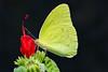 Butterfly, Common Sulfur<br /> <br /> Shot at Boyce Thompson Arboretum near Superior, AZ.