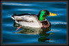 """Duck, Mallard-Male</font> <font color=""""Orchid"""">Thank You for Making this Daily Photo tied for the <font color=""""Orange"""">#3 Pick<font color=""""Orchid""""> on 05/14/2013 </a></font>  </font> <a href=""""http://www.rickwillis-photos.com/Portfolio/Best/Hidden-Photos-Without-Frames/26709550_DZD78d#!i=2510788363&k=26QCM7Q""""> <font color=""""Red"""">Link to Photo Without Frame</a> </font></a></font>"""