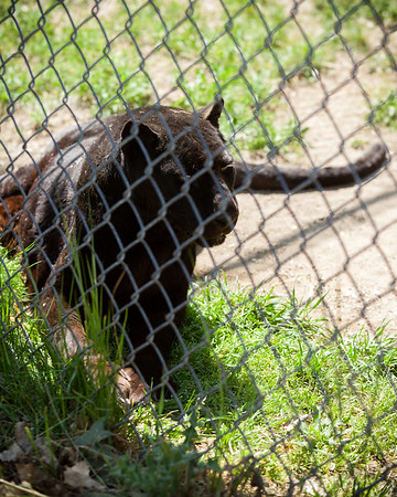 Up next is Boo, a black leopard, who is unfortunately too close to the fence to get a clear shot