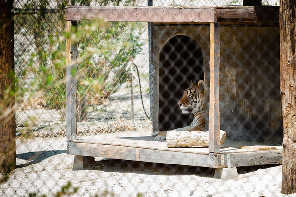 Sabu was one of two tigers that came from Michael Jackson's Neverland Ranch.  Thriller, his den-mate, passed away from lung cancer in 2012.