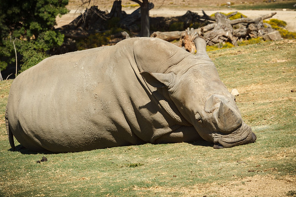 """White rhinos are improperly named...a mistranslation from Dutch to English.  The Dutch called these """"wijd"""" due to their """"wide"""" mouths, but English-speaking settlers thought they were saying """"white""""."""