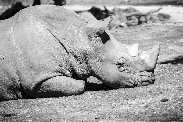 Black and white rhino