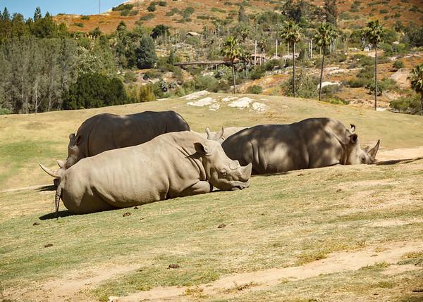 Chillaxing rhinos