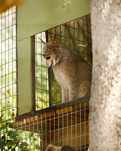 This is Eh, Cat Haven's Canadian Lynx
