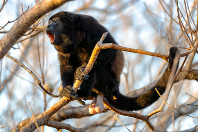 Howler Monkey screams