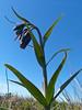 <em>Fritillaria lanceolata var. tristulis,</em> Point Reyes Chocolate Lilly, Marin Checker Lily, native.  <em>Liliaceae</em> (Lily family). Point Reyes, Point Reyes National Seashore, Marin Co., CA,  2013/03/10,  jm2p:  (not shown)