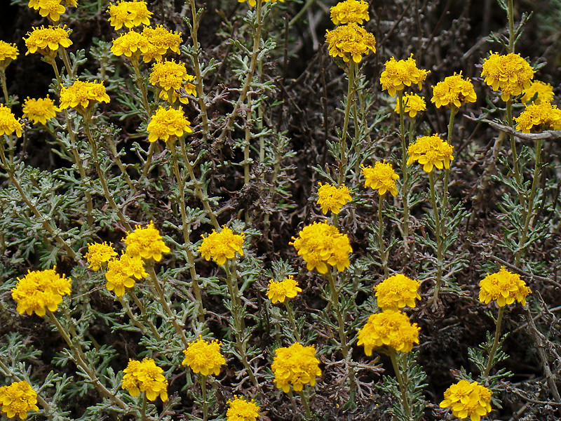 <em>Eriophyllum confertiflorum</em>, Golden Yarrow, native.  <em>Asteraceae</em> (= <em>Compositae</em>, Sunflower family).   Silver Peak Wilderness, Los Padres NF, Monterey Co., CA  6/15/09  jm2p325