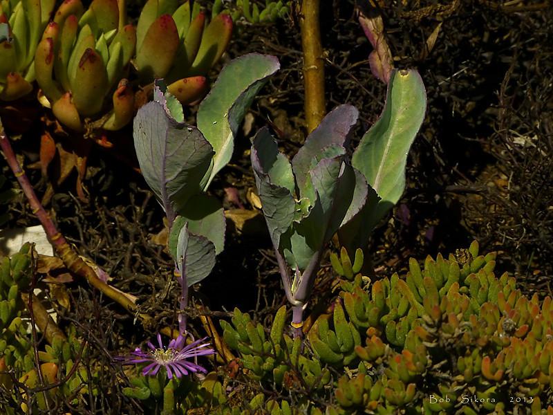 <em>But they had families and prospered . . .</em> <em>Brassica oleracea,</em> Cabbage, Europe.  <em>Brassicaceae</em> (=<em>Cruciferae</em>, Mustard family). Point Bonita, Golden Gate National Recreation Area, Marin Co., CA,  2012/06/11,  jm2p532