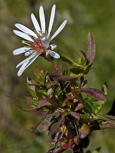 <em>Symphyotrichum chilense</em>, Pacific Aster, native.  <em>Asteraceae</em> (= <em>Compositae</em>, Sunflower family). Coastal Trail, Golden Gate National Recreation Area, Marin Co., CA,  2013/01/28, jm2p430
