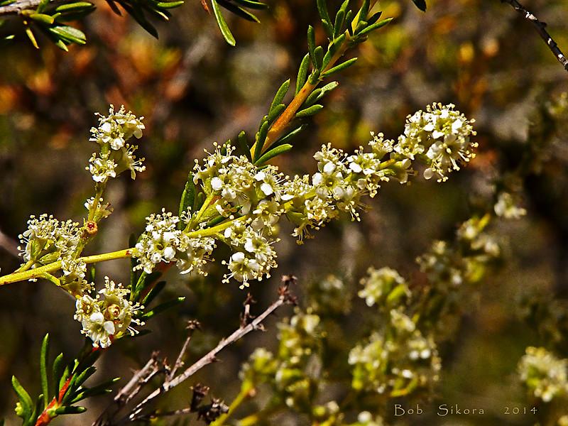 <em>Adenostoma fasciculatum var. fasciculatum</em>, Chamise, Greasewood, native.  <em>Rosaceae</em> (Rose family). Edgewood County Park, San Mateo Co., CA, 2014/06/01, jm2p1169