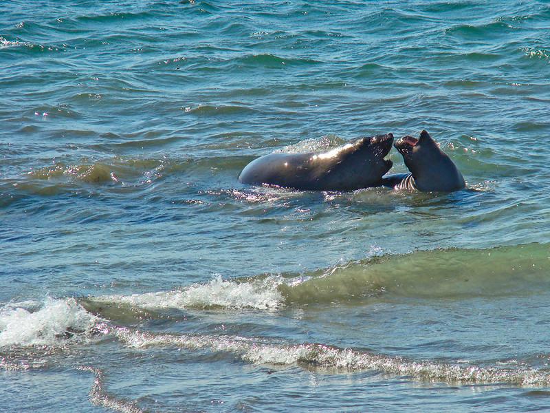 Elephant Seals Mating Northern Elephant Seal, <em>Mirounga angustirostris</em>. Point Piedras Blancas, San Luis Obispo Co., CA 9/26/09 &#9664 Cyperaceae ----- Iridaceae &#9658