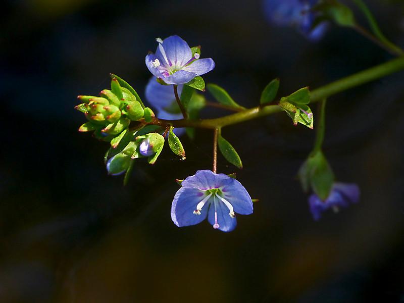 <em>Veronica americana</em>, American Brooklime or Speedwell, native.  <em>Plantaginaceae</em> (Plantain family). Coastal Trail, Golden Gate National Recreation Area, Marin Co., CA  2012/06/01  jm2p1032