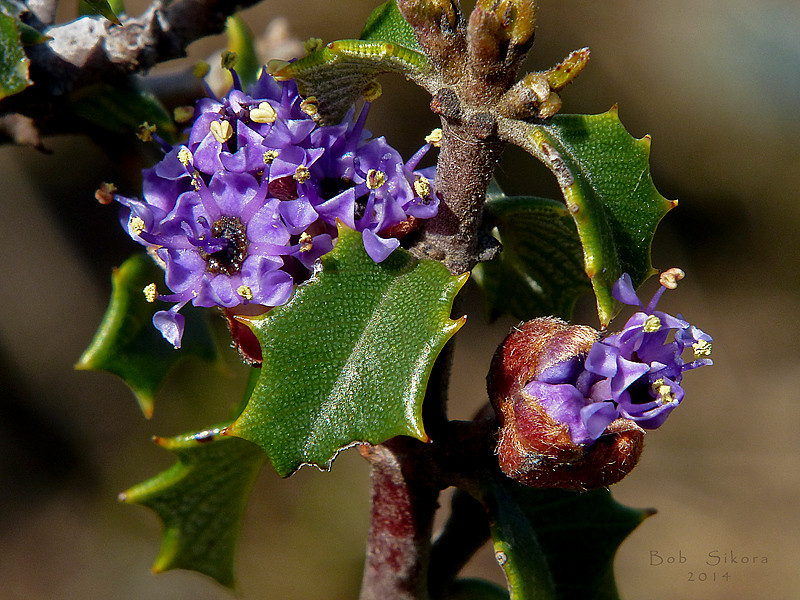 <em>Ceanothus jepsonii var. jepsonii</em>, Musk Brush, native.  <em>Rhamnaceae</em> (Buckthorn family). Carson Ridge, Marin Municipal Water District, Marin Co., CA, 2014/03/07, jm2p1158