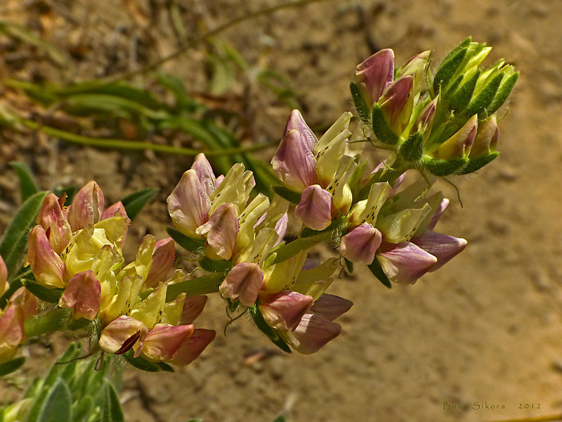 <em>Lupinus microcarpus var. densiflorus</em>, Dense Flowered or Chick Lupine, native.  <em>Fabaceae</em> (=<em>Leguminosae</em>, Legume family). Coastal Trail, Golden Gate National Recreation Area, Marin Co., CA, 2012/06/15,  jm2p774