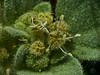 <em>Croton (Erimocarpus) setigerus</em>, Dove Weed, Turkey Mullien, native.  <em>Euphorbiaceae</em> (Spurge family). Nacimiento-Fergison Rd., Santa Lucia Mountains, Monterey Co., CA  1012/03/08  jm2p714